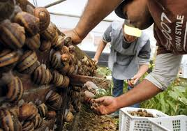 Snail Farming In Nigeria And All You Must Know