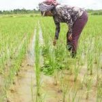 Rice Farming How To Start And Cultivate With All You Need To Know